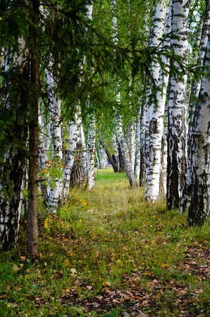 A Path between white birches Stock Photo