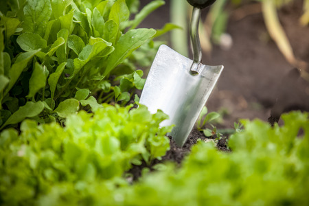 botanical garden: Macro photo of metal hand shovel and lettuce bed Stock Photo