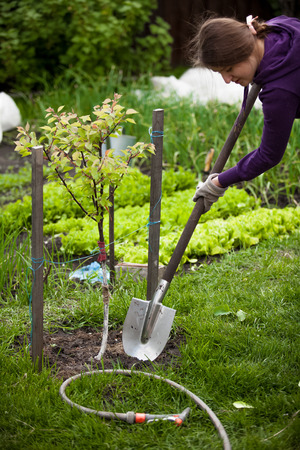Closeup photo of woman planting apple tree at garden