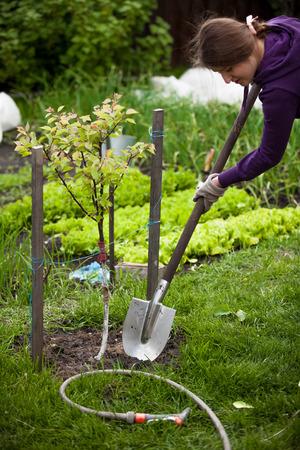 arbol de manzanas: Foto del primer de la mujer que planta el manzano en el jard�n Foto de archivo