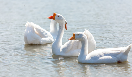 hiss: Beautiful white gooses swimming on river