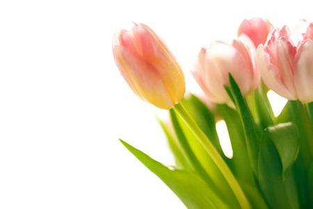 isolated photo of fresh blurred pink tulips photo