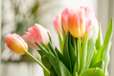 romantic flowers: Closeup shot of tulips standing against window at home Stock Photo
