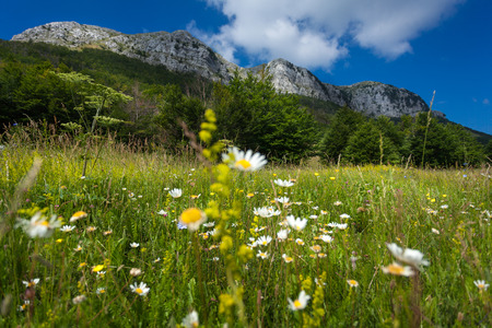 daisys: Beautiful meadow with daisys at the foor of high mountain
