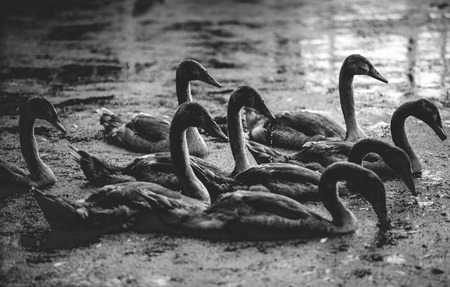 ugly duckling: Black and white photo of cygnets swimming on lake at morning