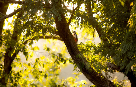Beautiful view of red woodpecker sitting on big tree at sunset photo