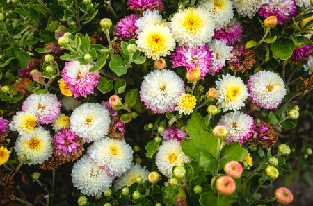 argyranthemum: Beautiful photo from above on colorful flower bed at park Stock Photo