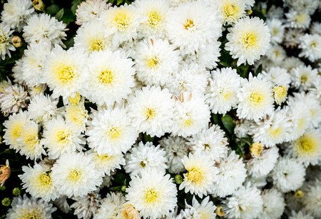 argyranthemum: Closeup photo of white flowerbed of chrysanthemums Stock Photo