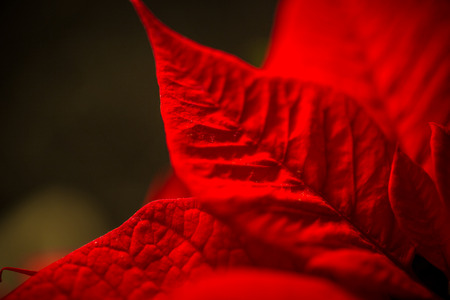 Macro shot of red leave texture over dark background photo