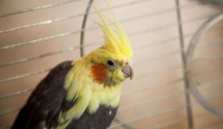 Beautiful yellow Cockatiel parrot sitting in metal cage photo