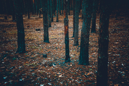 Toned photo of scary dark forest with burnt tree trunks