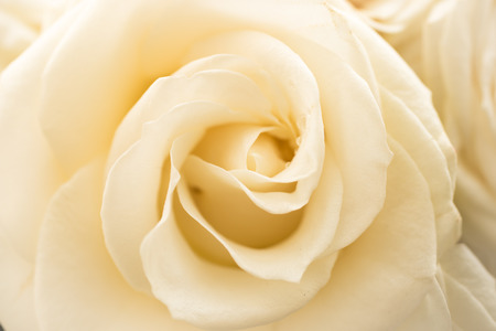 fragile peace: Closeup shot of beautiful white rose