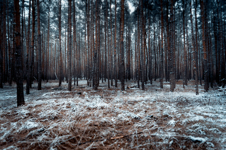 Toned landscape of dark forest covered by snow Standard-Bild