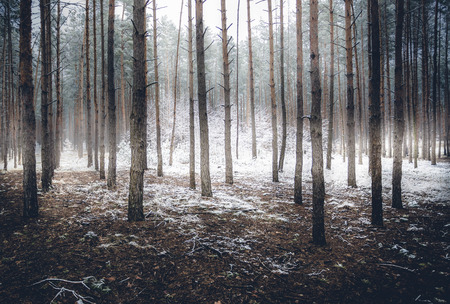 sunny cold days: Landscape of spooky winter forest covered by mist