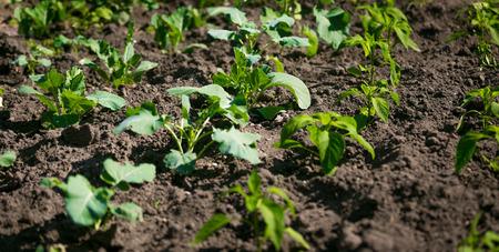 Rows Of Fresh Green Lettuce Growing On Fertile Soil At Garden Stock
