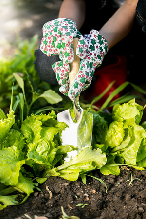 spud: Closeup photo of woman spud lettuce garden bed with metal spade
