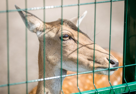 mother and baby deer: Closeup image of beautiful deer behind the fence in zoo