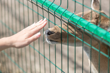 Conceptual image of contact between people and animals. Closeup shot of female hand touching doe through fence in zoo