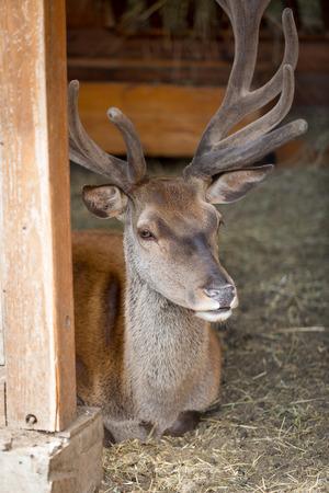 missouri wildlife: Closeup image of beautiful red deer lying on hay at zoo