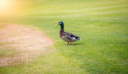 Male mallard duck walking on fresh green grass at sunny day