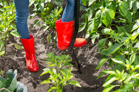 Closeup photo of person in red rubber boots digging soil in garden Фото со стока