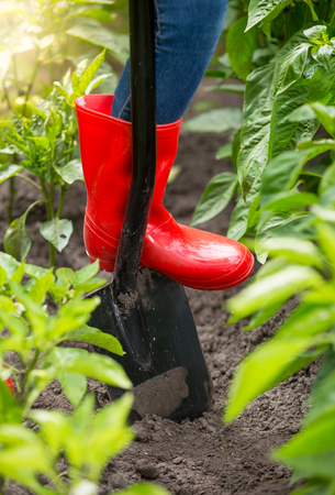 Closeup image of farmer feet in red wellington boot standing on shovel in garden