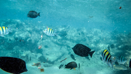 Beautiful underwater iamge of lots of colorful coral fishes swimming around dead corel in Red sea