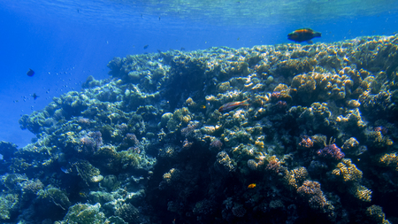 Beautiful underwater seascape of colorful coral reef and lots of tropical fishes swimming