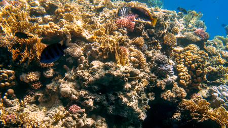 Hermosa foto submarina de coloridos arrecifes de coral tropicales en el fondo del mar Rojo. Foto de archivo