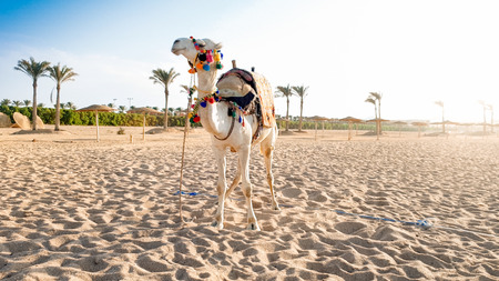 Beautiful photo of white camel with decorated saddle standing on the sand at sea beach. Camels are used for tourists riding and entertainment in Egypt and Turkey Foto de archivo