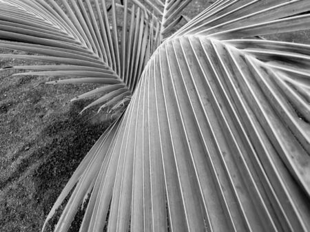Closeup abstract black and white image of palm tree texture Banco de Imagens