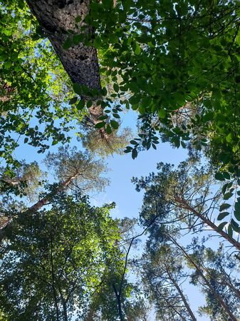 View from the ground on clear blue sky and high pine trees Banco de Imagens