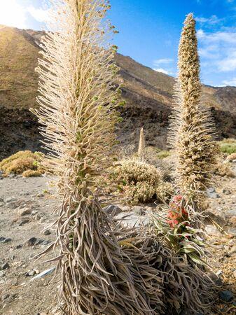 Closeup photo of rare tajinaste flowers growing in the volcanic desert