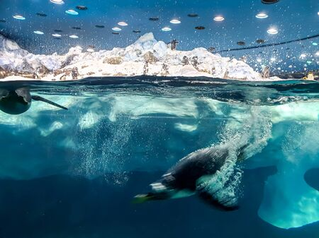 Closeup photo of two penguins diving underwater in the ice freezing water 版權商用圖片