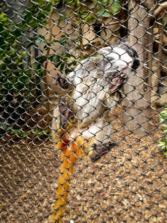 Closeup photo of small macaque climbing and sitting on the metal fence of her cage in zoo