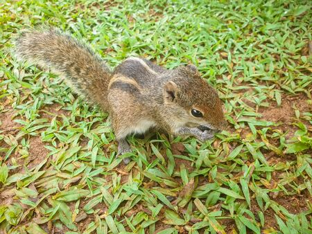 Closeup photo of grey tropical squirrel sitting on the grass