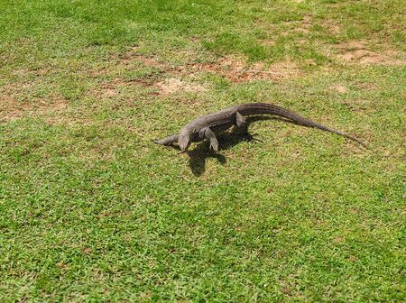 Photo of young varan crawling on grass at asian tropical island