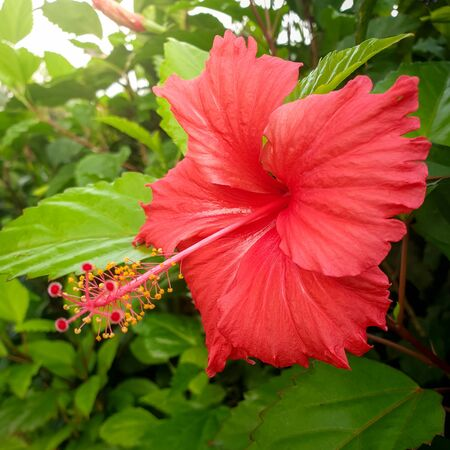 Schöne rote Hibiskusblüte, die auf tropischer Insel wächst Standard-Bild