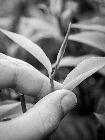 Closeup black and white image of hand holding fresh tea leaves at highland tea plantation Stockfoto