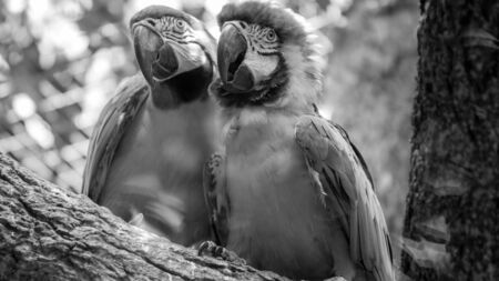 Black and white portrait of two macaw parrots sitting on the tree branch in zoo aviary 写真素材