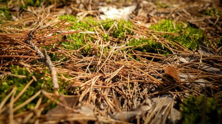 Closeup image of dry pine tree needles and moss lying on ground in forest