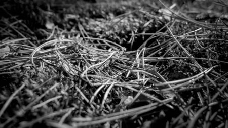 Black adn white closeup image of pine tree needles, moss and leaves on the ground at forest