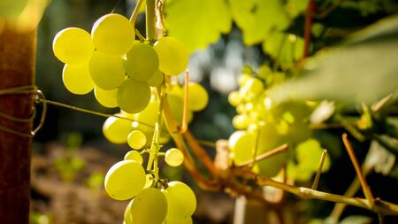 Closeup photo of green grapes growing on the vineard at countryside.
