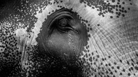 Black and white closeup photo of elephant eye with flowing tears. Concept of abuse and bad treatment of animals