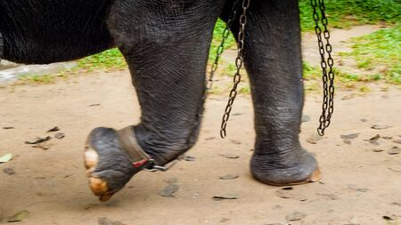 Closeup image of metal chains locked on elephant legs in zoo. Concept of abuse and cruel treatment of animals in wildlife