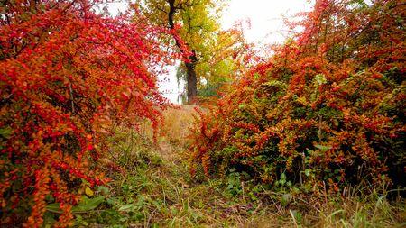 Piękny obraz czerwonych i pomarańczowych krzewów berberysu rosnących w jesiennym parku