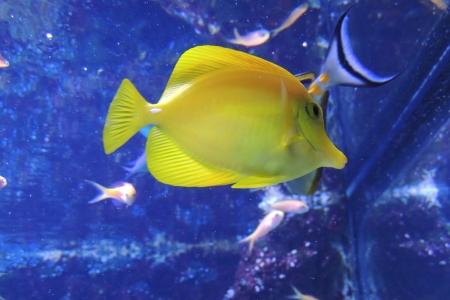 tang: yellow tang Stock Photo