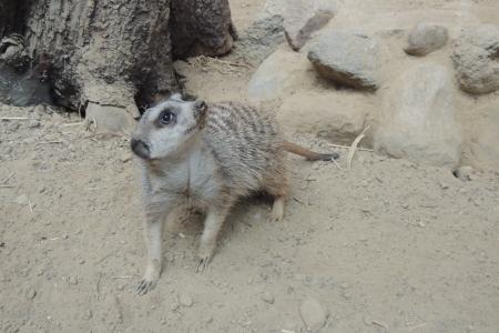 suricate: Meerkat, suricate
