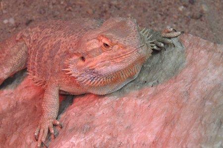 bearded dragon lizard: Pogona Bearded Dragon lizard