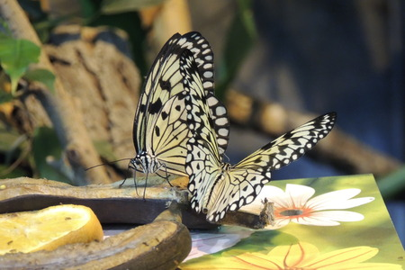 Beautiful butterflies eating bananas photo